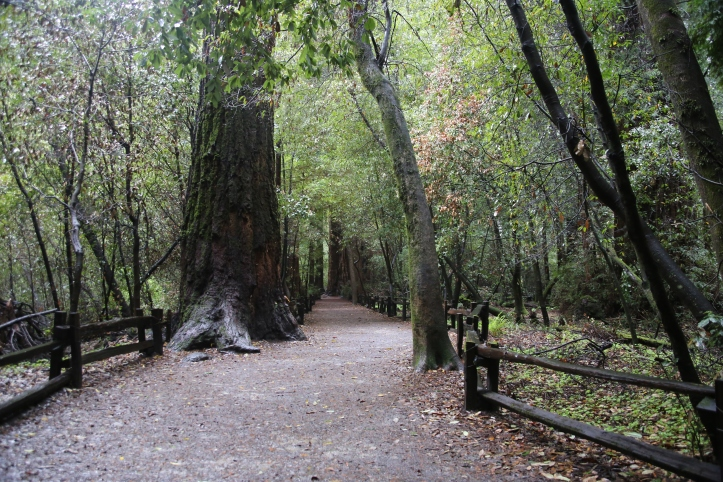 Visiting the Henry Cowell Redwoods State Park in California with Kids | www.carriereedtravels.com