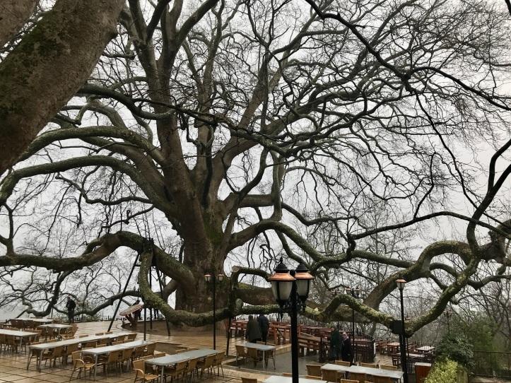 Ancient İnkaya Historical Tree near Bursa, Turkey | www.carriereedtravels.com